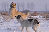 威猛的哈萨克牧羊犬