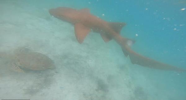惊心动魄!美国一男子潜水看海龟 遭鲨鱼追赶
