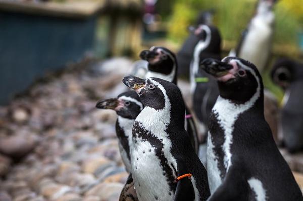 """新西兰水族馆每月评选""""最佳""""和""""最淘气""""企鹅"""