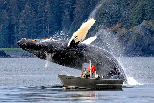 阿拉斯加座头鲸从船旁突然蹿出 一跃而起惊艳了海面