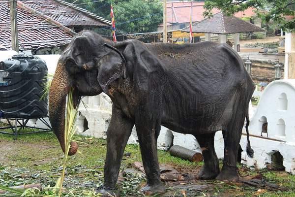 斯里兰卡一大象被迫连续高强度巡演 身体骨瘦如柴