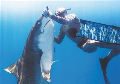 秒變嬰兒 潛水員催眠虎鯊