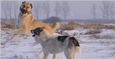 """走向夕阳的""""武士"""",濒临灭绝的新疆土狗:哈萨克牧羊犬"""