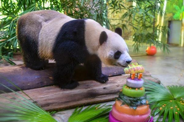 """海南动物园为大熊猫兄弟""""贡贡""""和""""舜舜""""庆生"""