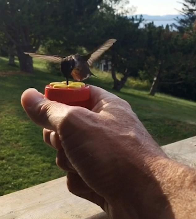罕见!加拿大一男子手持花蜜成功吸引蜂鸟吸食
