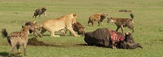 肯尼亚鬣狗群狮口抢食 雄狮寡不敌众只得放弃美餐