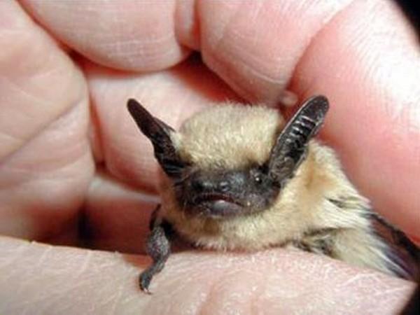 微型GPS装置揭示沙漠蝙蝠的神秘生活