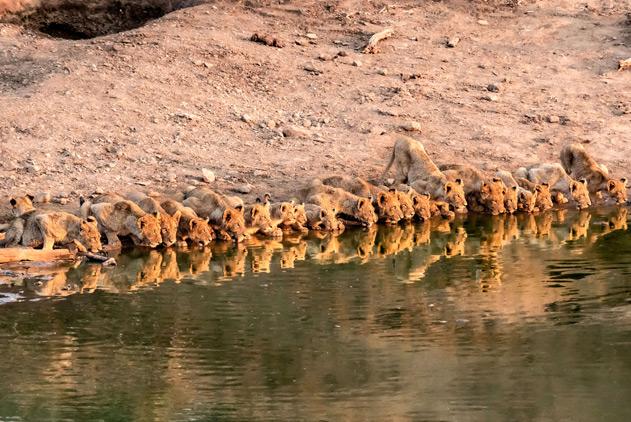 """萌爆了!摄影师""""偷拍""""南非23头幼狮排排坐喝水"""