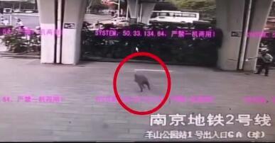 """""""二师兄""""都这么膨胀了?南京地铁站惊现野猪,一路跑到了闸机口"""