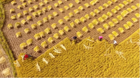 阿里丰收节启动 农业大省受惠亩产一千美金
