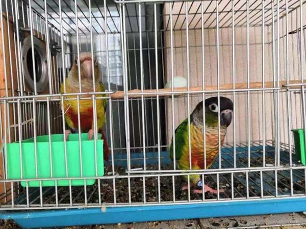 这两只鹦鹉叫绿颊锥尾鹦,卖它们的人已经被抓起来了
