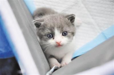 """萌化!国内首只自主培育的克隆猫来了,它叫""""大蒜"""""""