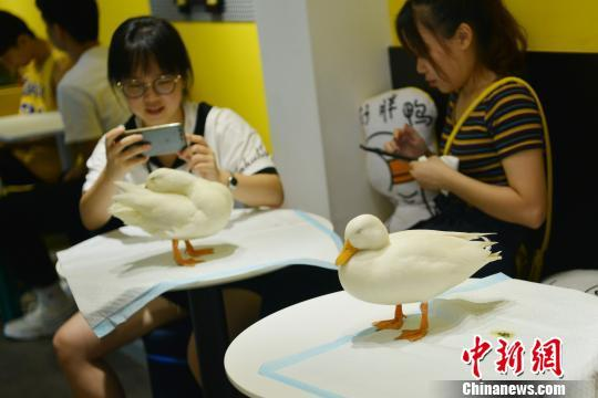 成都一咖啡馆引进小鸭子当宠物 吸引年轻人尝新鲜