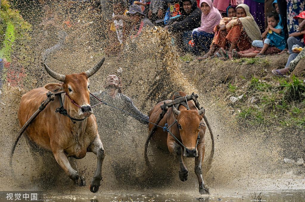 印尼举办传统奔牛比赛  参赛者拽牛尾巴稻田狂奔