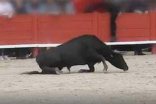 残忍!法国斗牛学校一公牛因过度训练崩溃倒下