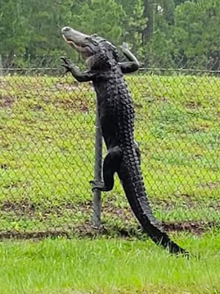 鱷魚會翻墻?美國一條短吻鱷翻過圍欄進入海軍基地