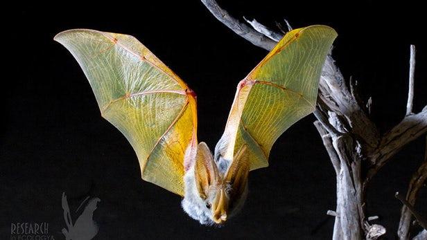 """科学家利用微型GPS""""背包""""揭示沙漠蝙蝠的夜间活动"""