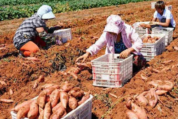 河北卢龙:鲜食红薯种植促增收