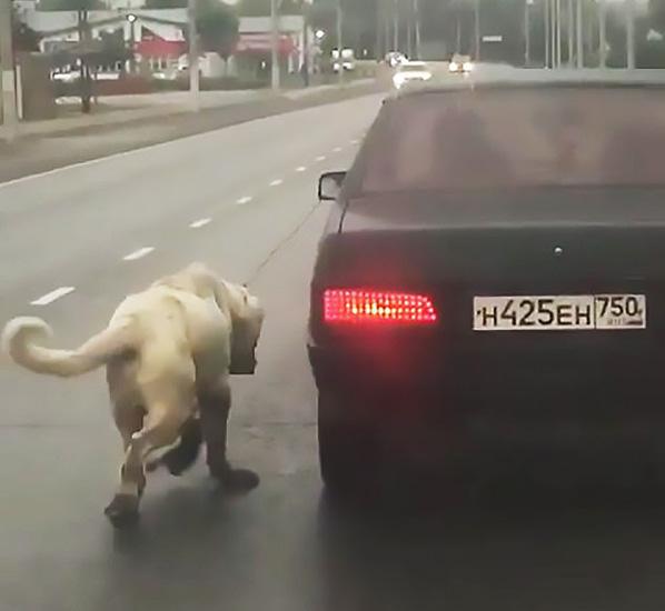 俄羅斯一寵物狗被主人栓在車后拖行 路人報警解救
