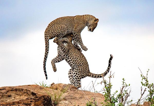 """肯尼亞自然保護區一對美洲豹上演""""雜技""""秀"""