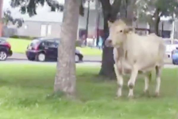 英國一頭牛逃出屠宰場街頭自由奔跑 警方無奈將其射殺