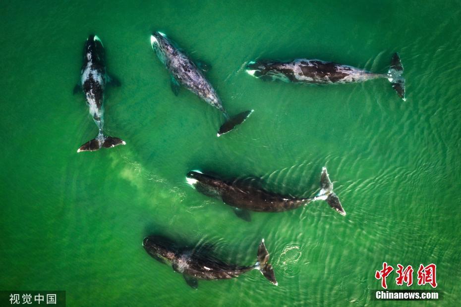 航拍俄罗斯海域鲸群 碧蓝水中自在畅游