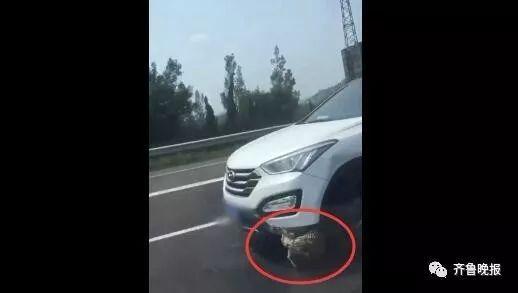 高速济南段上,女子开车顶着野鸡一路飞驰!网友:真