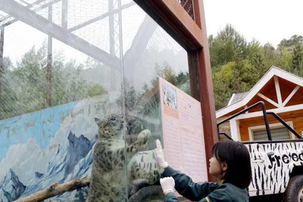 青藏高原野生动物园90后雪豹女饲养员