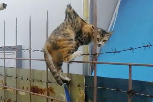 九條命!泰國流浪貓身體被金屬欄桿刺穿幸運生還