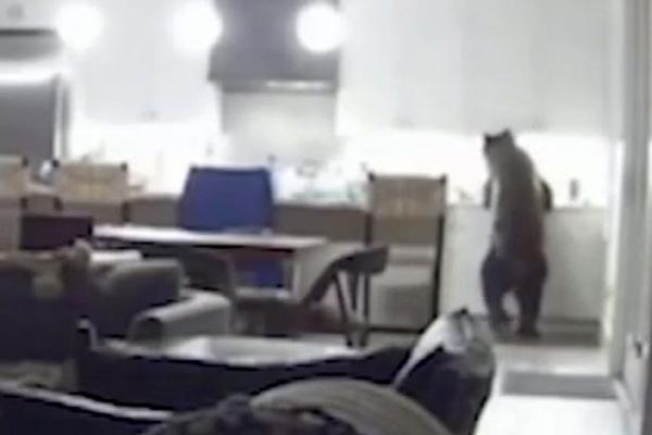 美國加州一野熊為覓食半夜闖民居 嚇壞屋內少年