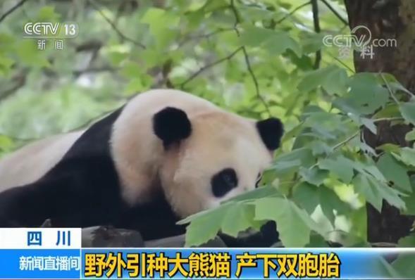 """大熊猫""""草草""""今年17岁 已繁育6胎9仔 其中三对双胞胎"""