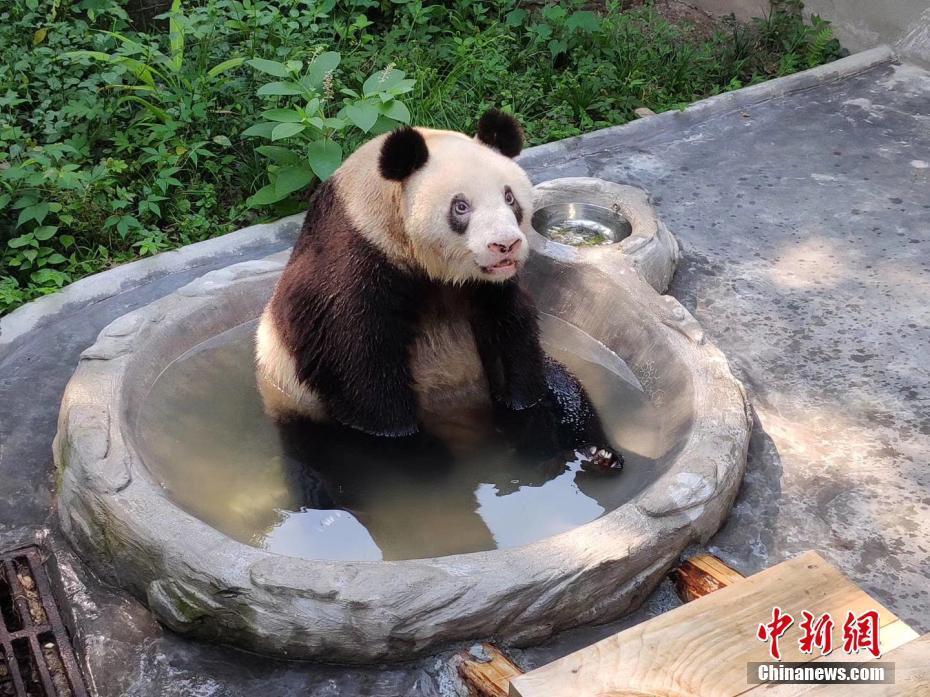 """现存最长寿圈养大熊猫""""新星""""迎37岁生日"""