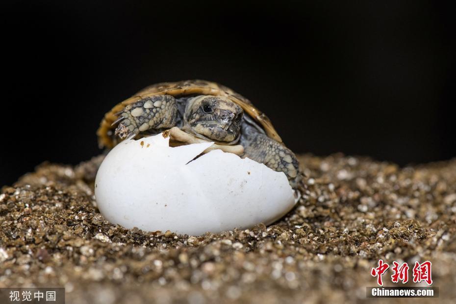 英国一动物园成功孵化超迷你小龟 仅瓶盖大小