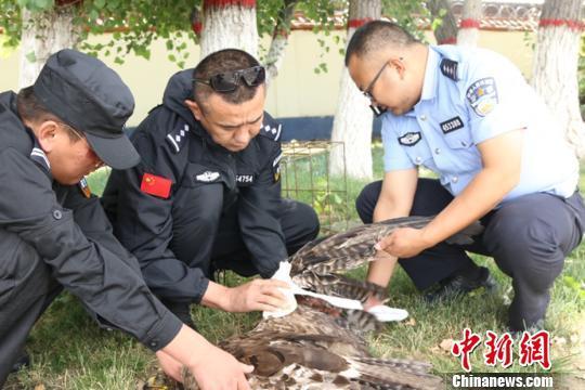 新疆边防民警巡逻中 救助受伤国家二级保护动物草原雕