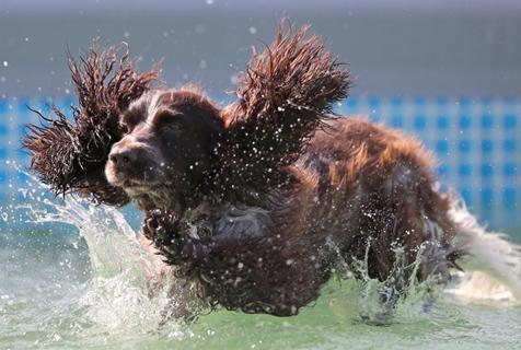俄罗斯圣彼得堡举行宠物节 萌宠上演泳池竞速