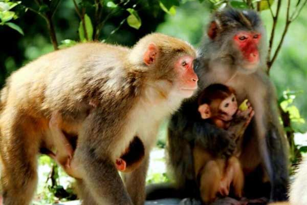 神农架野生猕猴见人不惊 与人亲近互动