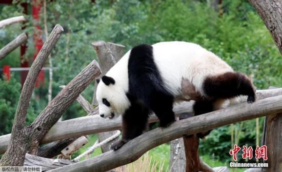 """德国柏林动物:旅德大熊猫""""梦梦""""确认""""有喜"""" 一到两周内产崽"""