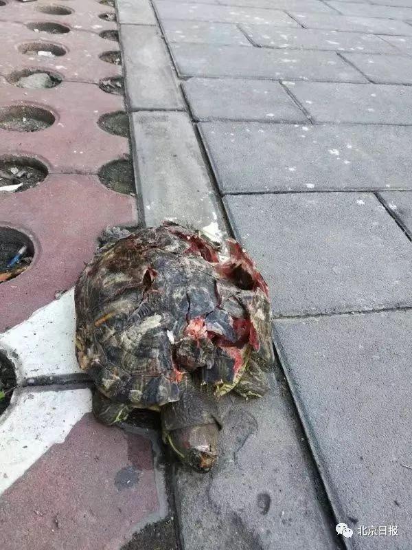 10多斤的乌龟从天而降!北京这个小区又现高空坠物