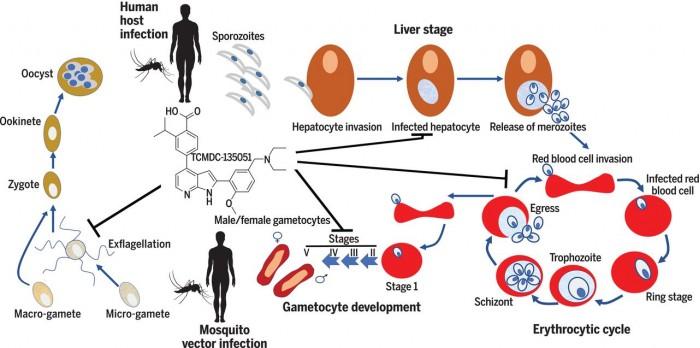 新药物有望用于遏制疟疾传播