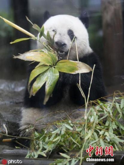 <b>日本多地为租借大熊猫展开激烈竞争 将花落谁家?</b>
