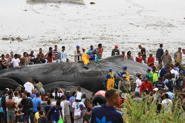 巴西一巨型座头鲸搁浅海滩死亡 民众围观拍照