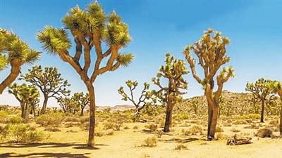 全球变暖 让古老的约书亚树面临灭绝
