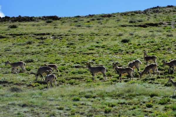 高原野生保护动物西藏山南地区觅食