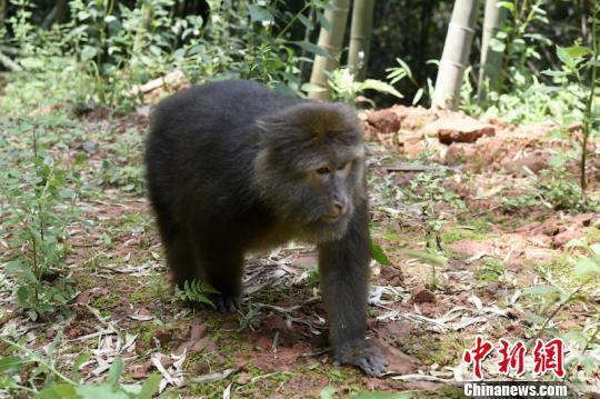 """四川叙永将一只藏酋猴""""放猴归山"""" 系国家二级保护动物"""
