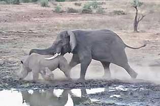 南非公園犀牛和大象打架 場面激烈殃及小犀牛