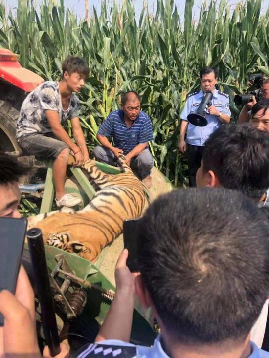 河南马戏团脱逃老虎已被麻醉抓获,暂无人员伤亡