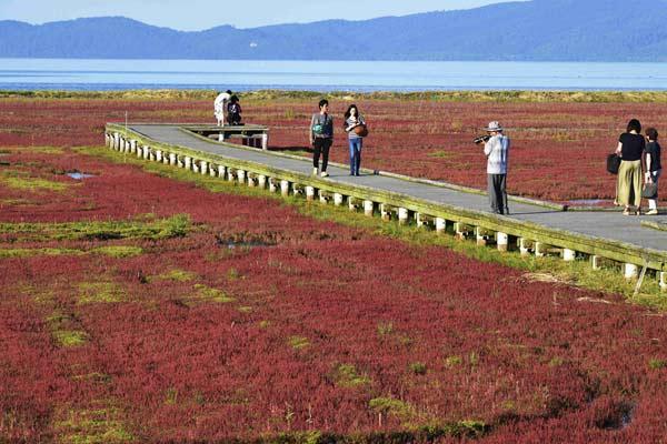 来日本北海道看红珊瑚草 感受秋天的颜色