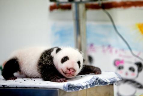 法国动物园一只熊猫幼崽出生 软萌可爱
