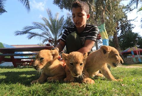 加沙动物园出生3只小狮崽 因缺乏条件被迫转移
