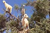 山羊上树,你见过吗?